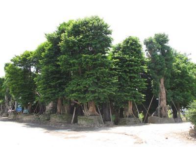 编辑本段形态    常绿大乔木,树高可达40米,胸径可达100厘米.